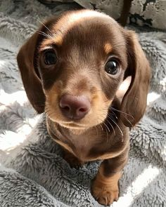 crescentmoon animalia Cute Baby Dogs, Cute Puppies, Dogs And Puppies, Dressage, Chiweenie Puppies, Nyc, Mundo Animal, Dachshund Love, Cute Funny Animals