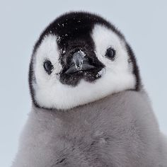 Franka Slothouber Captures The Emperor Penguin Colony in Antarctica – Baak Turn Animals Cute Wild Animals, Cute Little Animals, Cute Funny Animals, Animals And Pets, Penguin Pictures, Animal Pictures, Photoshopped Animals, Funny Photoshop, Cute Penguins