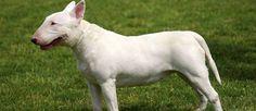 De Bull Terrier is een kruising tussen de Bulldog en de Oud-Engelse Terrier met een beetje van de Spaanse Pointer in zijn bloedlijn. De Bull Terrier werd gebruikt als een waakhond, een rattenvanger, een herder en een waakhond en deed dit allemaal erg goed.