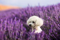Dog photography | Pet photography | Dog photographers | #dogphotography #petphotogtaphy #bichon #lavender #norwaydog #oslo #bergen #norwayphotographer #deutschland #hundefotografie #austria Dog Photography, Photography Portfolio, Bergen, Oslo, Dog Lovers, Photo And Video, Dogs, Animals, Instagram
