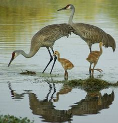 Due in a large part to wetland restoration efforts, the sandhill crane population has bounced back from being endangered. The birds are now common in Illinois.