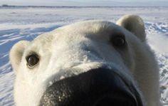 10 percent of proceeds go towards polar bear conservation!