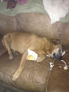 Rustydog after eating Hagen Daz