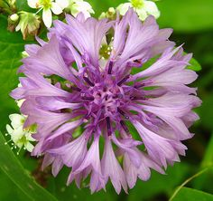 violet centaurea