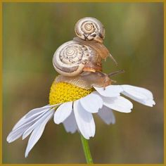 Momma and baby rest on a daisy.