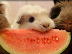 guinea pigs and watermelon