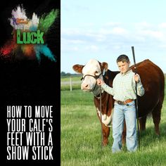 How Do You Move Your Calf's Feet With a Show Stick Livestock Judging, Showing Livestock, Mini Hereford, 4 H Clover, Cow Tipping, Show Steers, Show Cows, Raising Cattle, Show Cattle