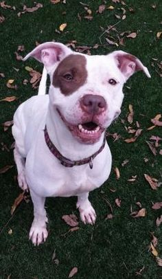 Petango.com – Meet Conley, a 3 years 10 months Terrier, American Pit Bull / Mix available for adoption in KANSAS CITY, MO