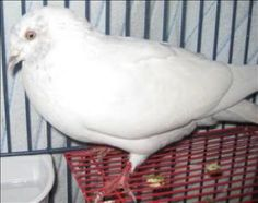 Cuba is an adoptable Pigeon Dove in Burnaby, BC.  Primary Color: White Secondary Color: Grey Age: 2yrs 0mths 0wks...