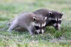 Raccoon family takes over Toronto bank Twin Babies, Cute Babies, Raccoon Family, Mice Control, Pest Control, In Natura, Toronto Star, Racoon, Cute Baby Animals