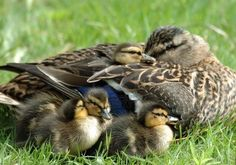 6442282-resting-mallard-duck-family.jpg (400×281)