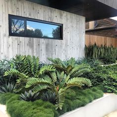 Tropical garden design – Site visit today to project completed a few years back These Cardboard Palms and Agave poking out of the Korean Clumping Grass is insane 👌🏻 cityscaper ard bettergardenbiggerlife Architec - Gardening Home Landscaping, Tropical Landscaping, Front Yard Landscaping, Palm Trees Landscaping, Landscaping Design, Palm Garden, Tropical Garden Design, Garden Grass, Dry Garden