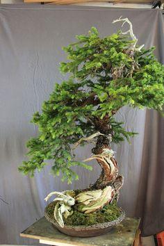 This bonsai seems to lack definition, looking a bit haphazard. #bonsaitrees