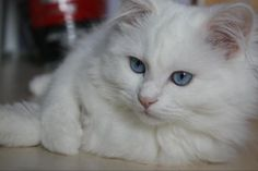 Raggle Rock Mickey 'Blue-Eyes' of Pride Ragdolls - Blue-Eyed White Ragdoll