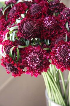 scabiosa red The red scabiosa, Scabiosa atropurpurea, has long-lasting burgundy-red blooms that are to-die-for. This flower was developed especially for the cut flower industry, so it has all the best traits – long stems, long-lasting flowers and true beauty. Sow seeds in trays now for transplanting later. Pop the trays in a warm spot and keep them moist until ready to transplant. Seeds are available from Kings Seeds.