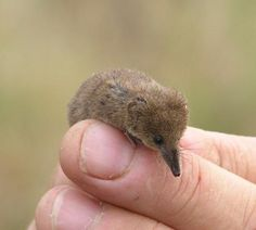 Pygmy Shrew by markhows, via Flickr