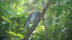 El picanzo gris (Colluricincla harmonica)2 es una especie de ave paseriforme de la familia Pachycephalidae. Es uno de los más queridos y emblemáticos pájaros cantores de Australasia. Es medianamente común en Australia, excepto en las zonas secas y los desiertos del interior. Se encuentra también en Nueva Guinea.  Archivo:Grey Shrike-thrush.ogg Kobble Creek, SE Qld, Australia, April 2008. Mide en promedio 24 cm de longitud. Carece de colores llamativos, pero su regalo extraordinario es la…