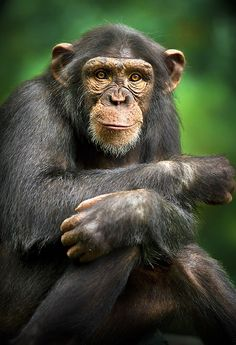 Chimpanzee.  Just watched Project Nim. There is no such thing as a happy cautionary tale but this one was particularly heartbreaking. Let's leave these beautiful creatures in the wild where they belong