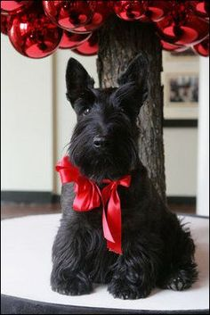 Miss Beazley, a black Scottish Terrier, strikes a pose beneath a decorative red ornament Christmas Tree, Wednesday, Nov. 29, 2006, in the East Wing of the White House.