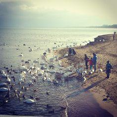 #Gdansk #feeding #Swan #Bay