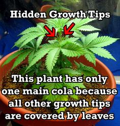 These small growth nodes are hidden by leaves. They will never turn into colas unless they get exposed to direct light. Growing Weed, Cannabis Growing, Medical Benefits Of Cannabis, Medical Marijuana, Marijuana Plants, Cannabis Plant, Marijuana Art, Cannabis Oil, After Life