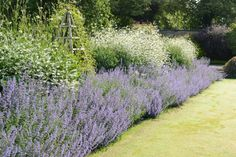 Garden Thinnings: Catmint...