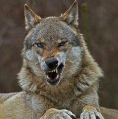 Der Wolf by Traum Flieger Wolf Love, Bad Wolf, Wolf Spirit, Spirit Animal, Beautiful Wolves, Animals Beautiful, Wolf Pictures, Animal Pictures, Tier Wolf