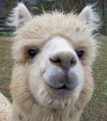 Image result for alpacas