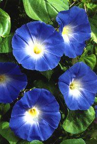 IPOMEA AZUL. Una de las mejores plantas trepadoras cubriendo rápidamente superficies con flores tubulares de color azul que se abren de día y se cierran por la noche.