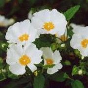 Cistus x corbariensis (White rockrose) London Garden, Plant Care, Gardening Tips, Wild Flowers, Garden Design, Plants, Backyard Landscape Design, Landscape Designs, Planters