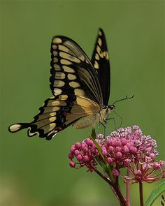 Beautiful Giant Swallowtail Butterfly ~ By Tom Clark