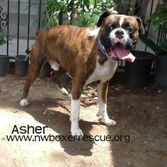 Asher is a sweet brindle boy who needs a couple of dollars to help him get up from Southern California to a foster home in the Pacific Northwest. Can you help? Donations can be made on Paypal via nwboxerrescue@hotmail.com. Thank you from NWBR.