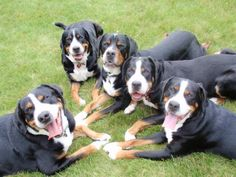 Greater Swiss Mountain Dogs -