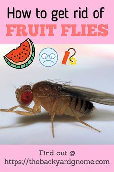 Read our full guide to get tips and tricks for dealing with these pests. Fruit Flies, Fly Traps, Gone For Good, How To Get Rid, Tips, Counseling