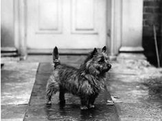 1934 Cairn Terrier