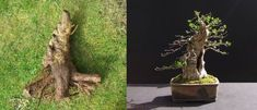 privet bonsai - before and after following 2 yrs of development