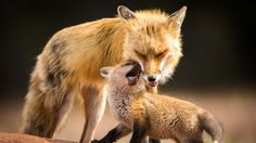 Nova Scotia photographer Ian Murray's image of the red fox and its cub won first place in an American wildlife photography contest in 2015.