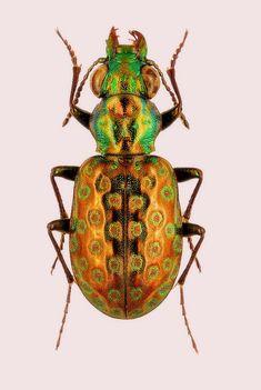 Elaphrus pyrenoeus
