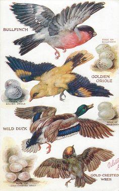 BULLFINCH, GOLDEN ORIOLE, WILD DUCK, GOLD-CRESTED WREN & their eggs