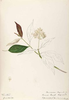 206325 Cornus racemosa Lam. [as Cornus paniculata L'Hérit.]  / Sharp, Helen, Water-color sketches of American plants, especially New England,  (1888-1910) [Helen Sharp]