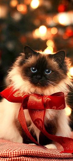 """Christmas Cats "" More Christmas cats for everyone! Pretty Cats, Beautiful Cats, Animals Beautiful, Cute Animals, Majestic Animals, Gorgeous Eyes, Christmas Kitten, Christmas Animals, Merry Christmas"