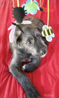 irish Wolfhound - Will Scarlet and toys #animals #dogs #irishwolfhound