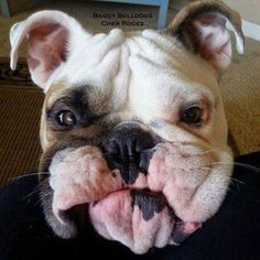 The major breeds of bulldogs are English bulldog, American bulldog, and French bulldog. The bulldog has a broad shoulder which matches with the head. Animals And Pets, Baby Animals, Funny Animals, Cute Animals, Bulldog Pics, English Bulldog Puppies, Wooly Bully, Bully Dog, Cute Puppies