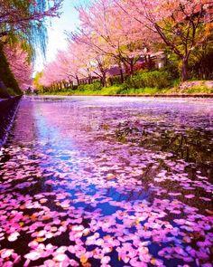 Instagram 上的 まっちゃん iPhone:「 花筏(はないかだ)の真上から🌸🌸🌸✨ . location:京都 伏見港公園/Kyoto 🇯🇵 . 2017.4 撮影📱 . . . 投稿していると思っていたら、まだ未投稿だった写真ですf^^*). 今年もこんな景色が見てみたい🤗😆🌸✨ .… 」 Amazing Pictures, 3d Wallpaper, Cherry Blossoms, Scenery, Japan, Water, Pink, Photography, Outdoor
