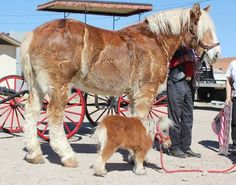 Own a Mini horse and draft horse