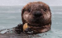 Monterey Bay Aquarium has a live sea otter cam (along with a kelp forest, aviary/birds, open sea, Monterey Bay, and penguin cams)! Best aquarium ever! Help Save Sea Otters Like Kit!