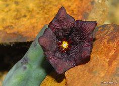 Tromotriche baylissii flower | Flickr - Photo Sharing!