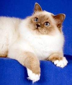 RUSSPURRZ BIRMANS - Sacred Cats of Burma Cattery Information