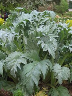 acanthus leaves/ I love this plant so popular in ancient Greece.  it grows very well in drought tolerant gardens.