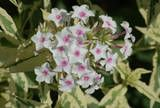 Phlox 'Nora Leigh' picture.  bicolored leaves.